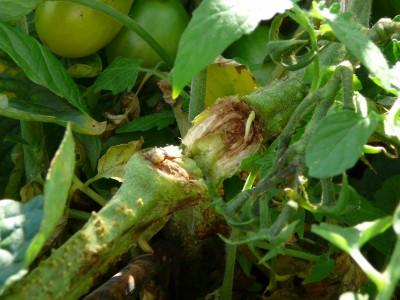 Plant de tomate fendu en raison du poids des tomates