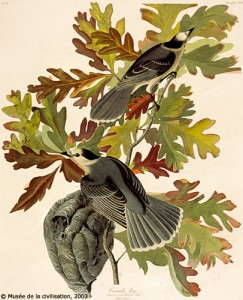 Musée de la civilisation, collection du Séminaire de Québec, The Birds of America, John James Audubon, 107/1993.34708