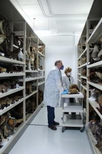 Les manutentionnaires doivent revêtir un équipement de protection lorsqu'ils manipulent des animaux naturalisés puisque ceux-ci ont été à une certaine époque traités avec des produits contenant de l'arsenic.